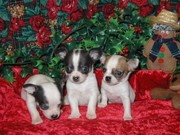 free free Chihuahua pups for the adoption